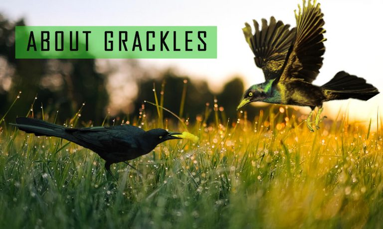 All About Grackles | Grackle vs Starling | Grackle vs Crow