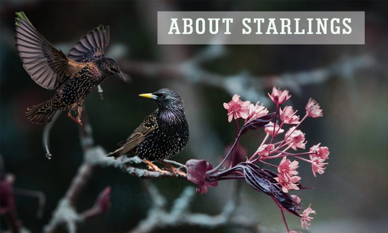 About Starlings | Starlings Murmuration | Tips to Keep Starlings Away