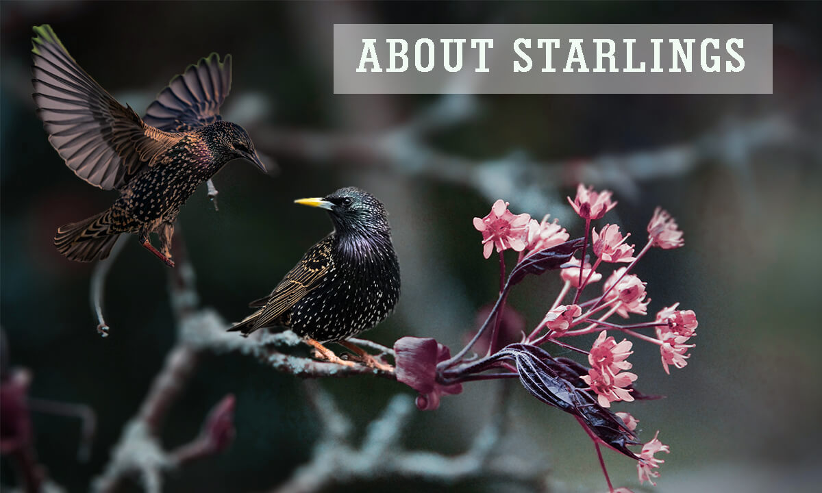Tips to Keep Starlings Away