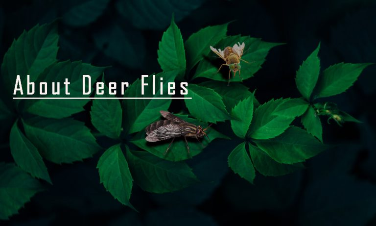 Deer Flies | Homemade Traps to Get Rid of Deer Flies