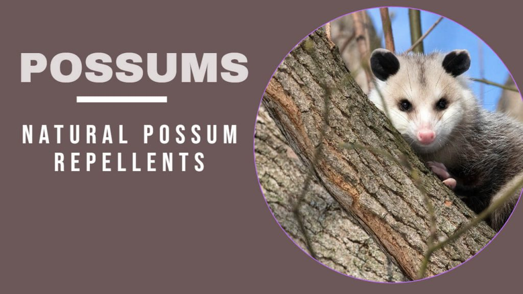 About Possums - Best method to Get rid of Possums Naturally
