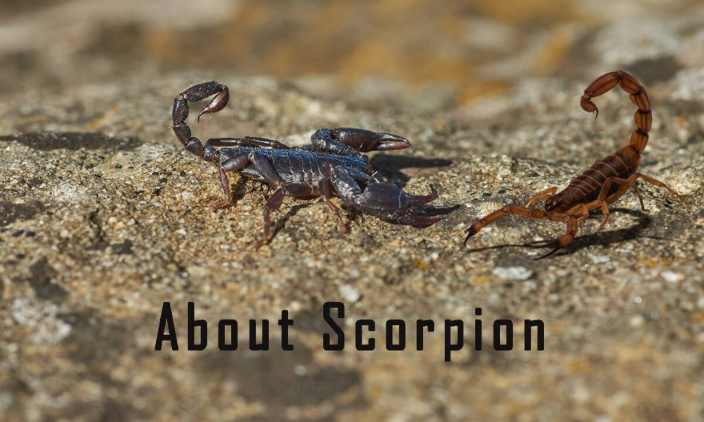Home Remedies to Get Rid of Scorpions