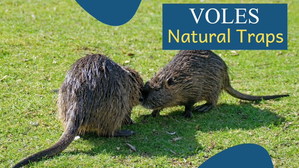 About Voles - Signs of a Vole Infestation - How to trap a Vole