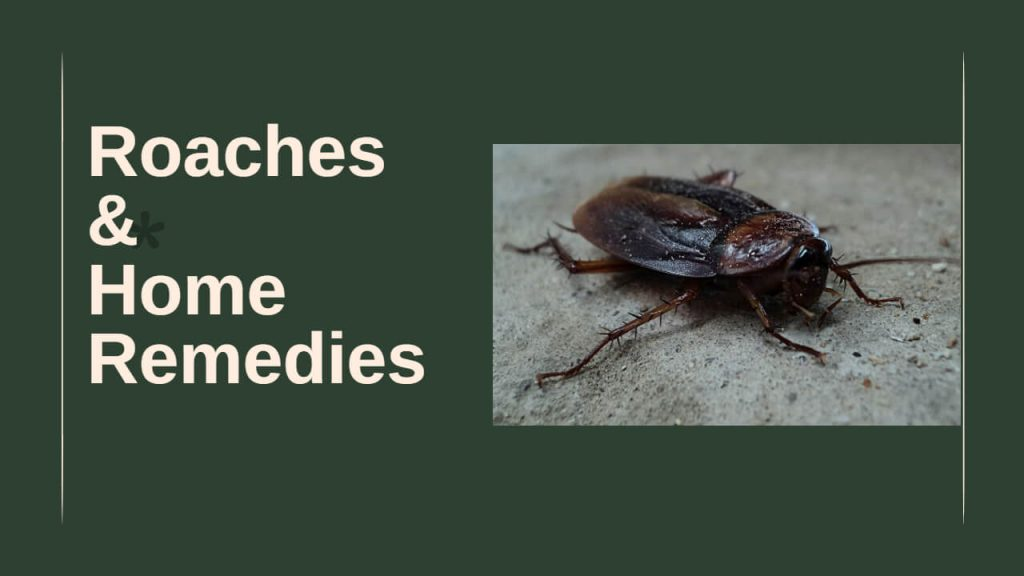 Types of Cockroaches | Home Remedies to Kill Roaches