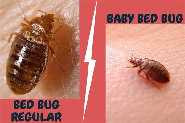 Difference between Regular Bed bugs and Baby Bed bugs