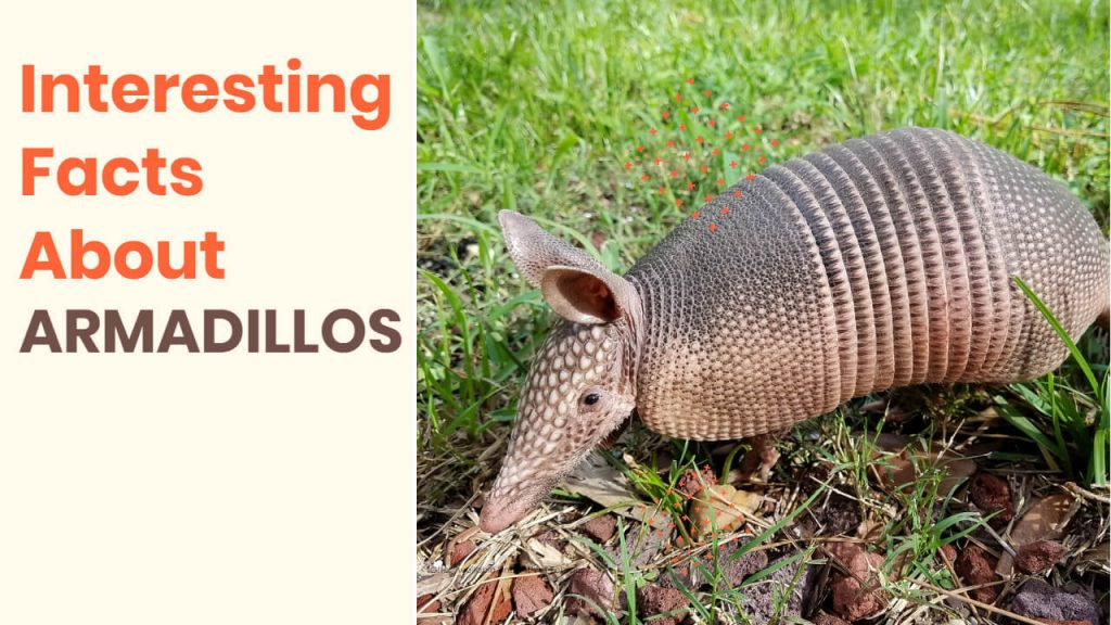 interesting facts about armadillos