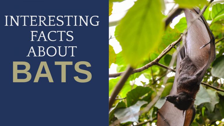 17 Interesting Facts About Bats [Eating Habits, Lifespan and more]