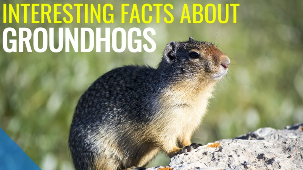 interesting facts about groundhogs