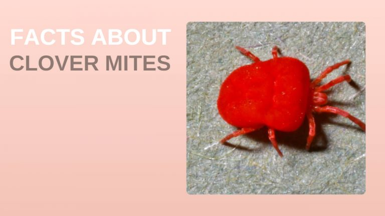 15 Facts About Clover Mites [Clover Mites Vs Chiggers, Spider Mites & Bed Bugs]
