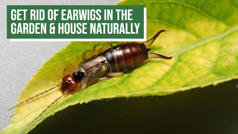 About Earwigs | How to Get rid of Earwigs in the Garden Naturally