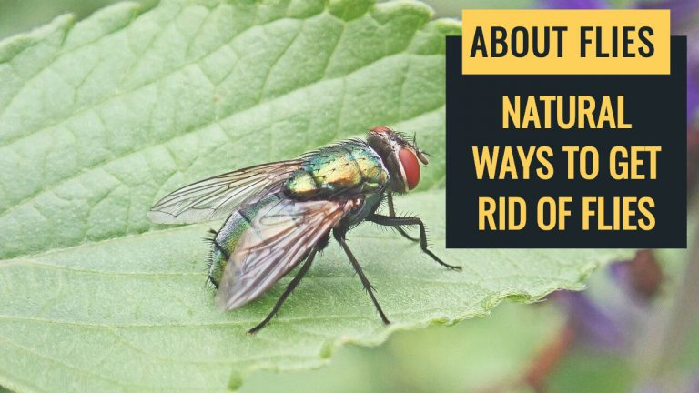 About Flies | Types of Flies | How to Get rid of Flies Naturally?