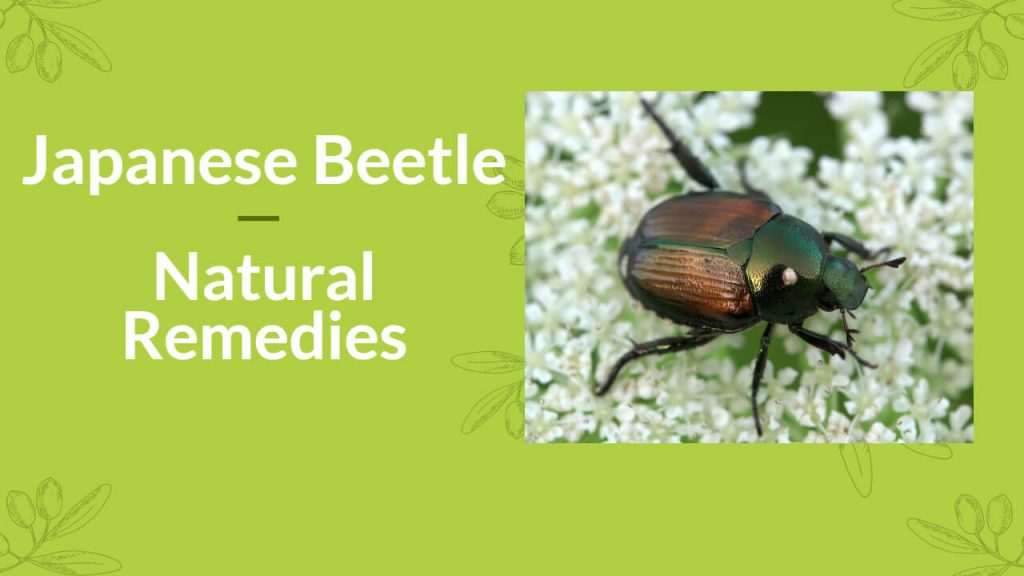Japanese Beetles Control Home Remedies