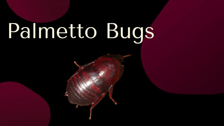 Palmetto Bug vs Cockroach | Home Remedies for Palmetto Bugs