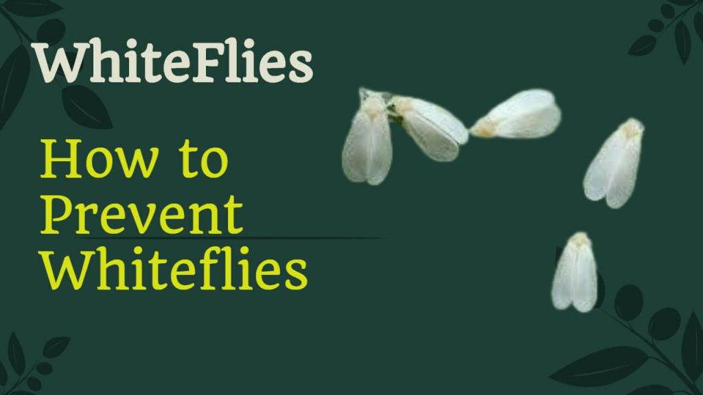 How to get rid of Whiteflies naturally