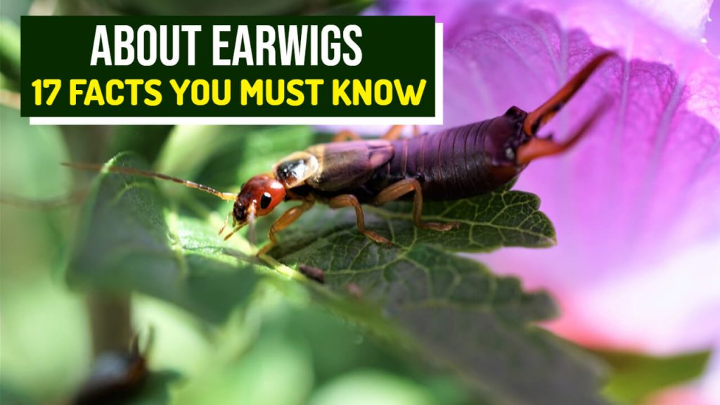 about earwigs - 17 facts
