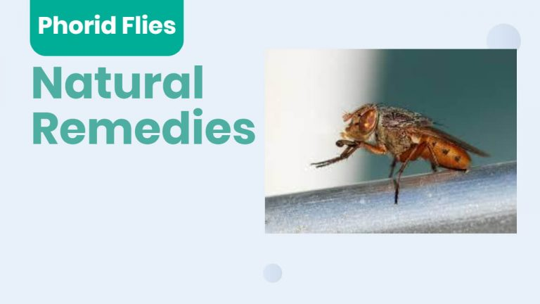 About Phorid flies | Phorid Flies vs Drain Flies | Natural Remedies for Phorid Flies