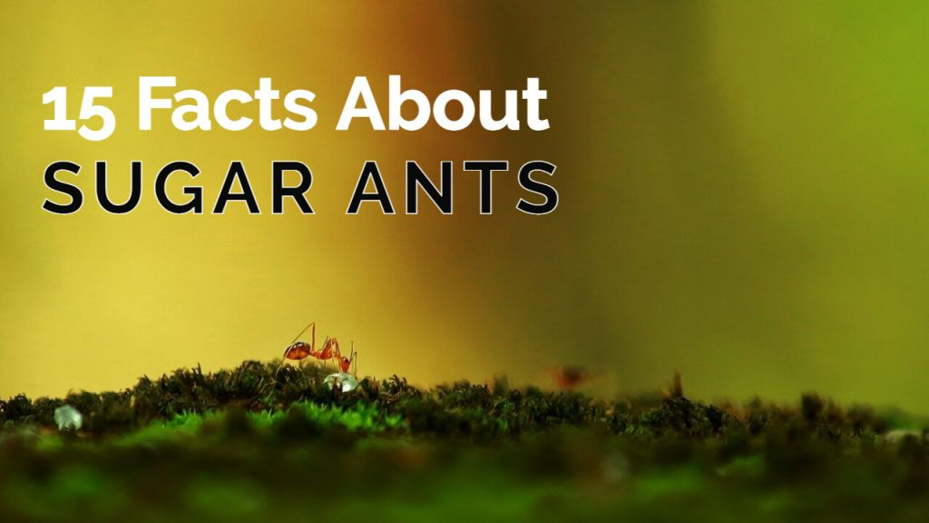 about sugar ants - 15 facts