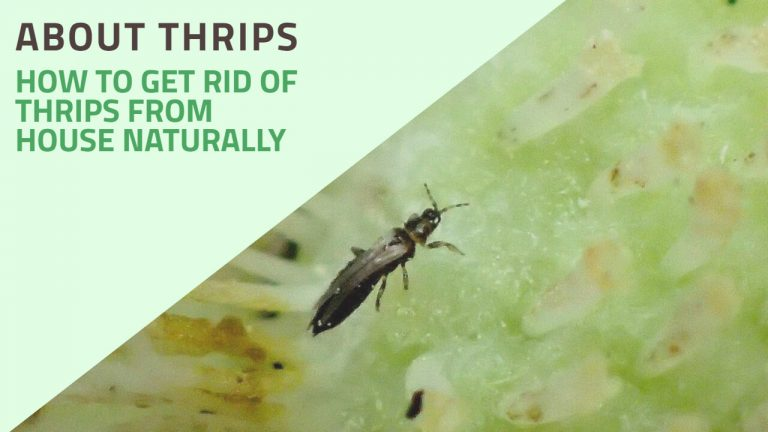 About Thrips | How to Get rid of Thrips inside the House Naturally