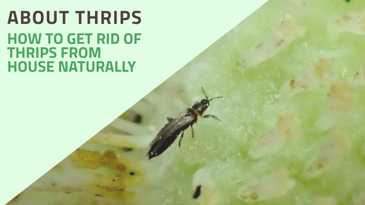 How to Get rid of Thrips inside the House Naturally