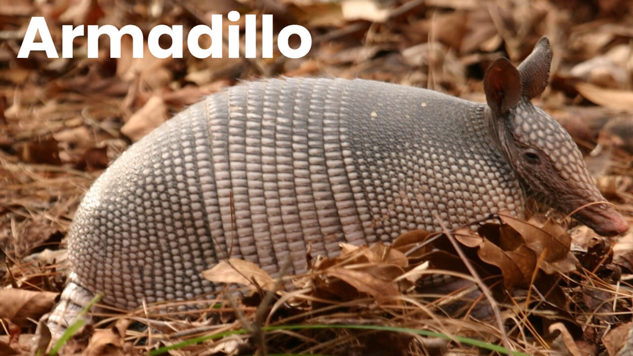 Homemade Armadillo Repellents and Traps