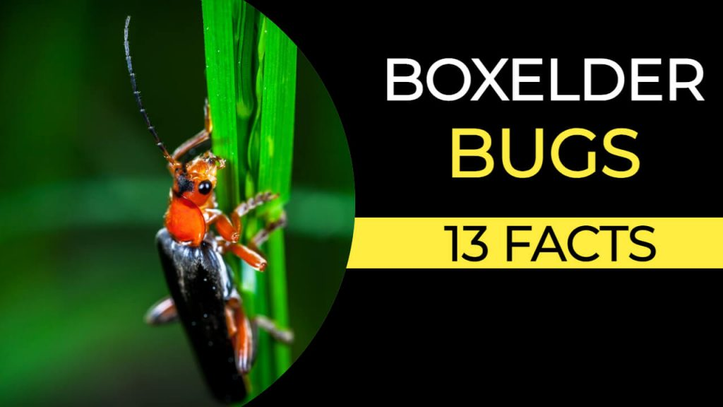 Facts about Boxelder Bugs
