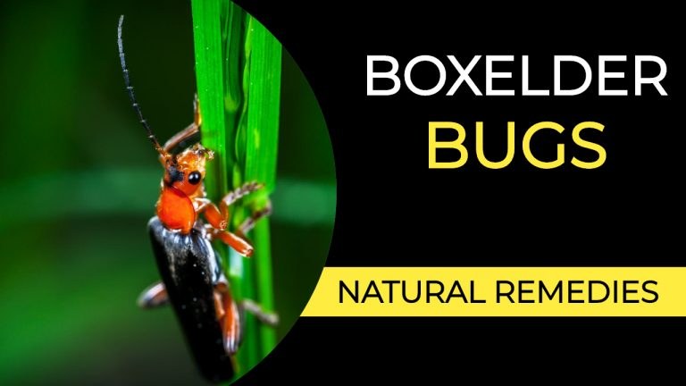Boxelder Bug Infestation | How to Get rid of Boxelder Bugs Naturally