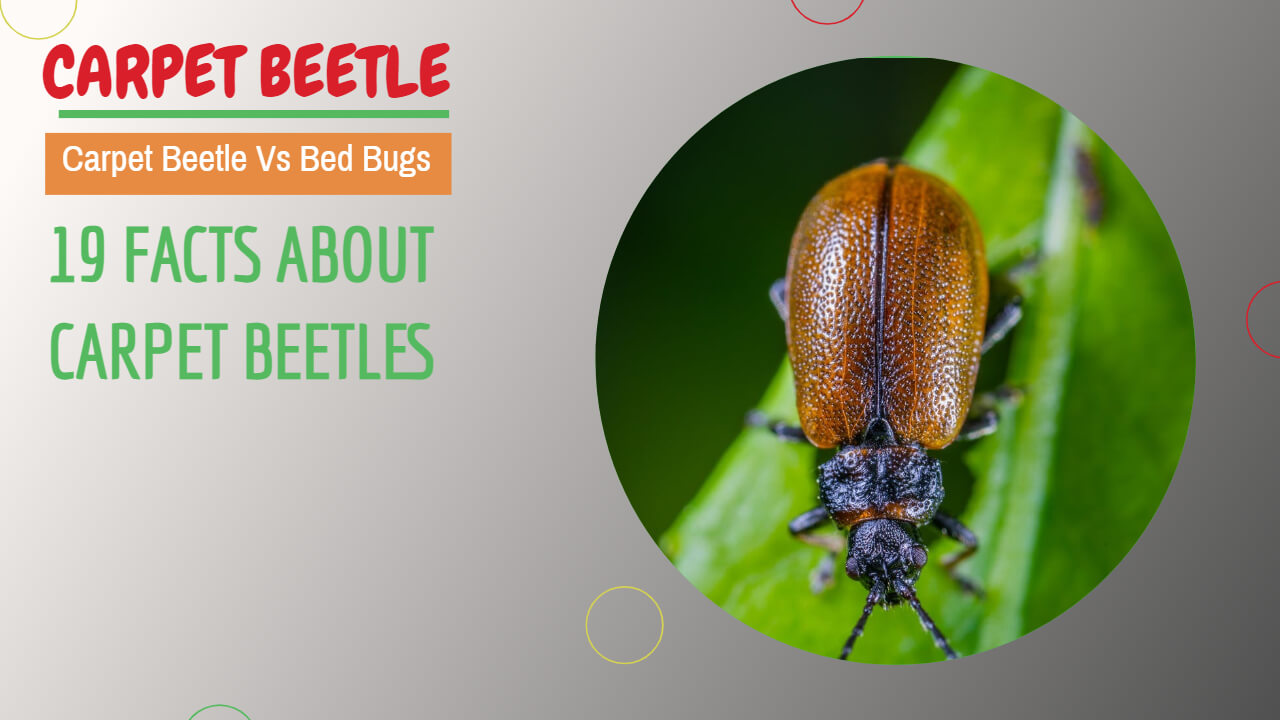 19 facts about carpet beetles