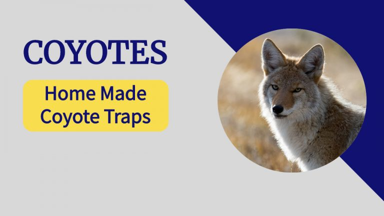 Coyote Facts | What do Coyotes Eat? How Dangerous are Coyotes?