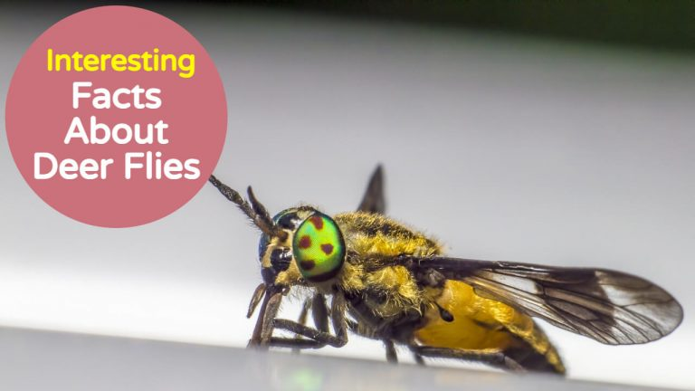 13 Interesting Facts About Deer Flies [Horse Fly Vs Deer Fly]