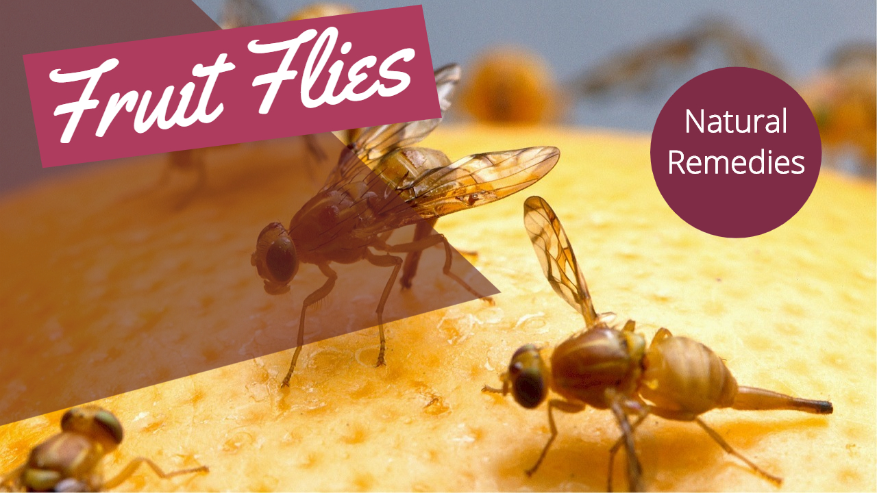About Fruit Flies | Fruit Fly vs Gnat | Natural ways to get rid of Fruit flies