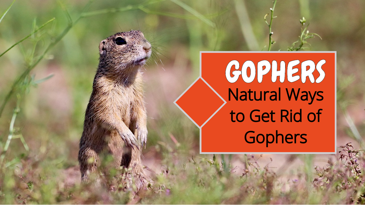 how get rid of gophers naturally