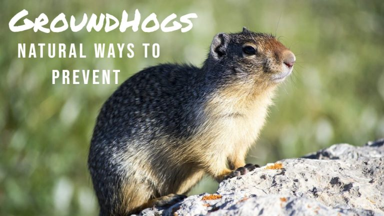 Groundhogs Life Cycle | How to Get rid of Groundhogs Naturally