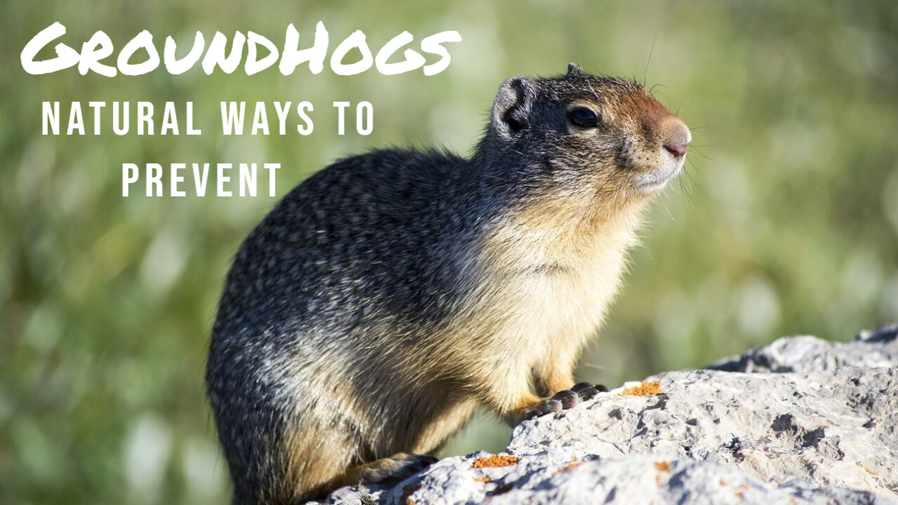 How to Get rid of Groundhogs Naturally