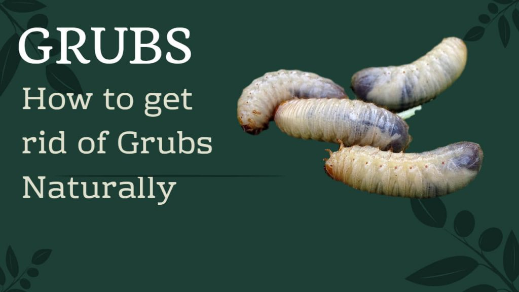 How to Get rid of Grubs without Chemicals & Naturally