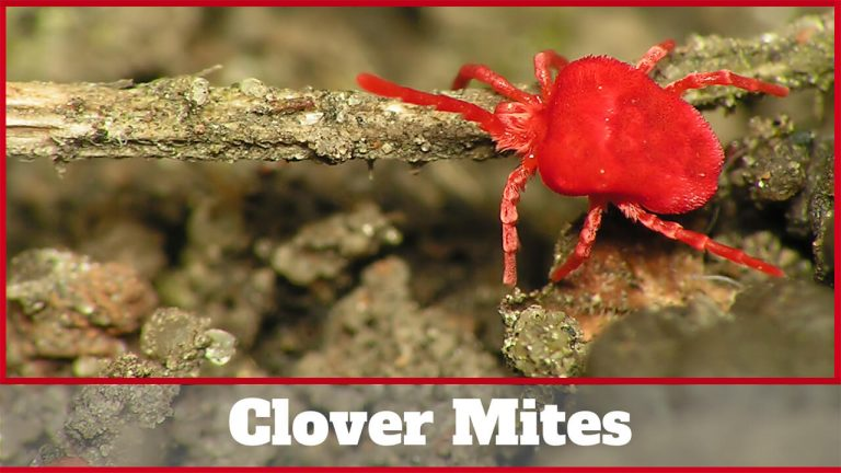 Top 5 Best Repellents to Get Rid of Clover Mites | User Reviews & Buyer Guide
