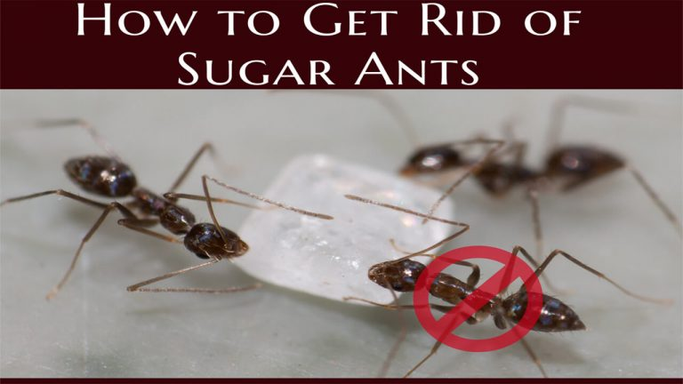 Top 5 Best Sugar Ant Baits to Get rid of Sugar Ants | Usage Instructions