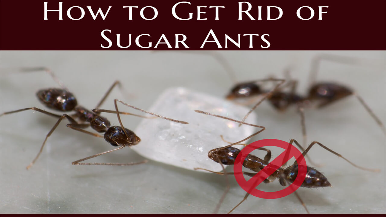how to get rid of sugar ants - top 5 best sugar ant baits