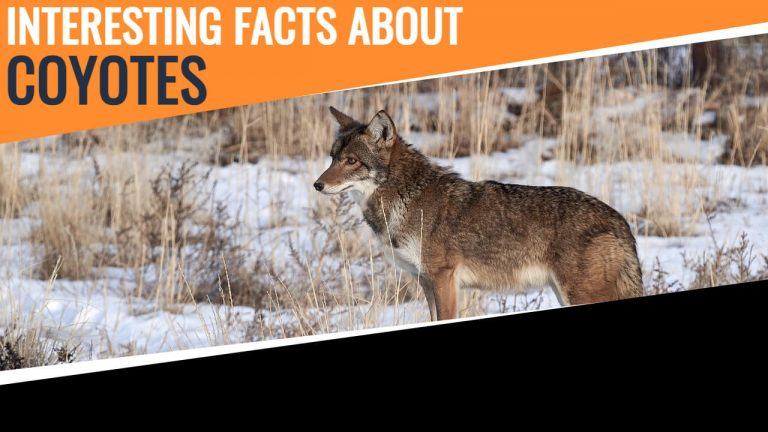 21 Facts About Coyotes [Coyotes Vs Pitbull Vs Dogs Vs Fox]