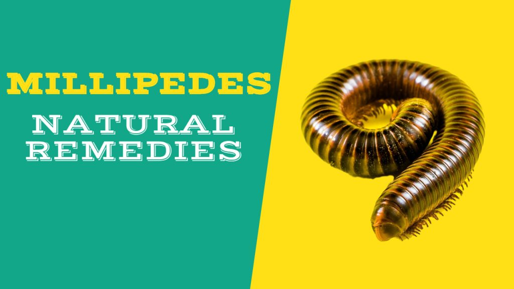 How to Get rid of Millipedes & Centipedes Naturally