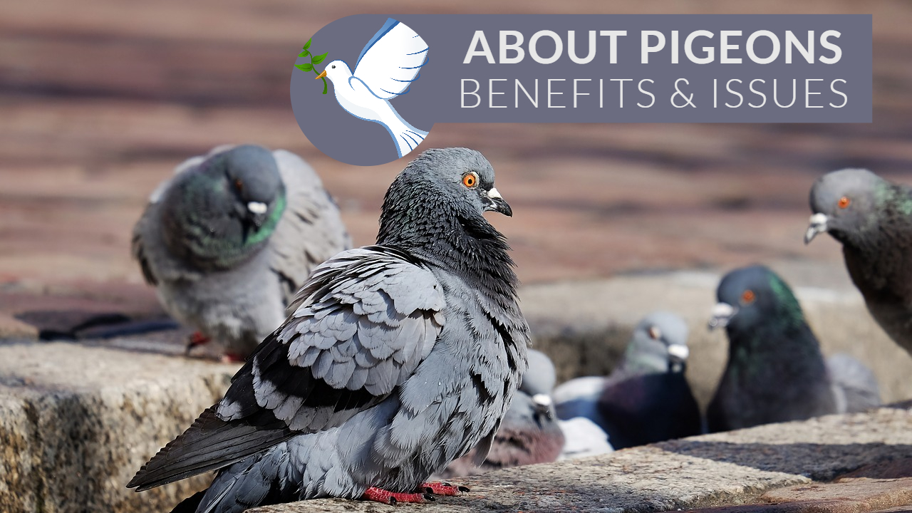 Types of Pigeons | Problems caused by Pigeons | Advantages of Pigeons