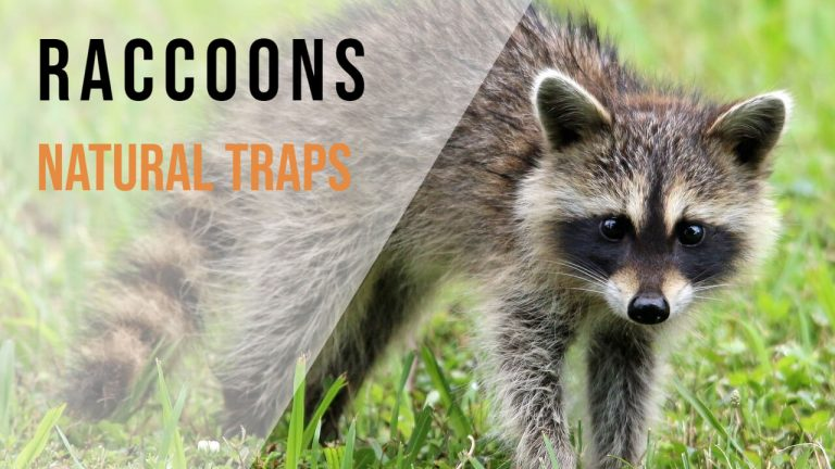 How to Make a Homemade Raccoon Trap | How to Trap a Raccoon in a Live Trap