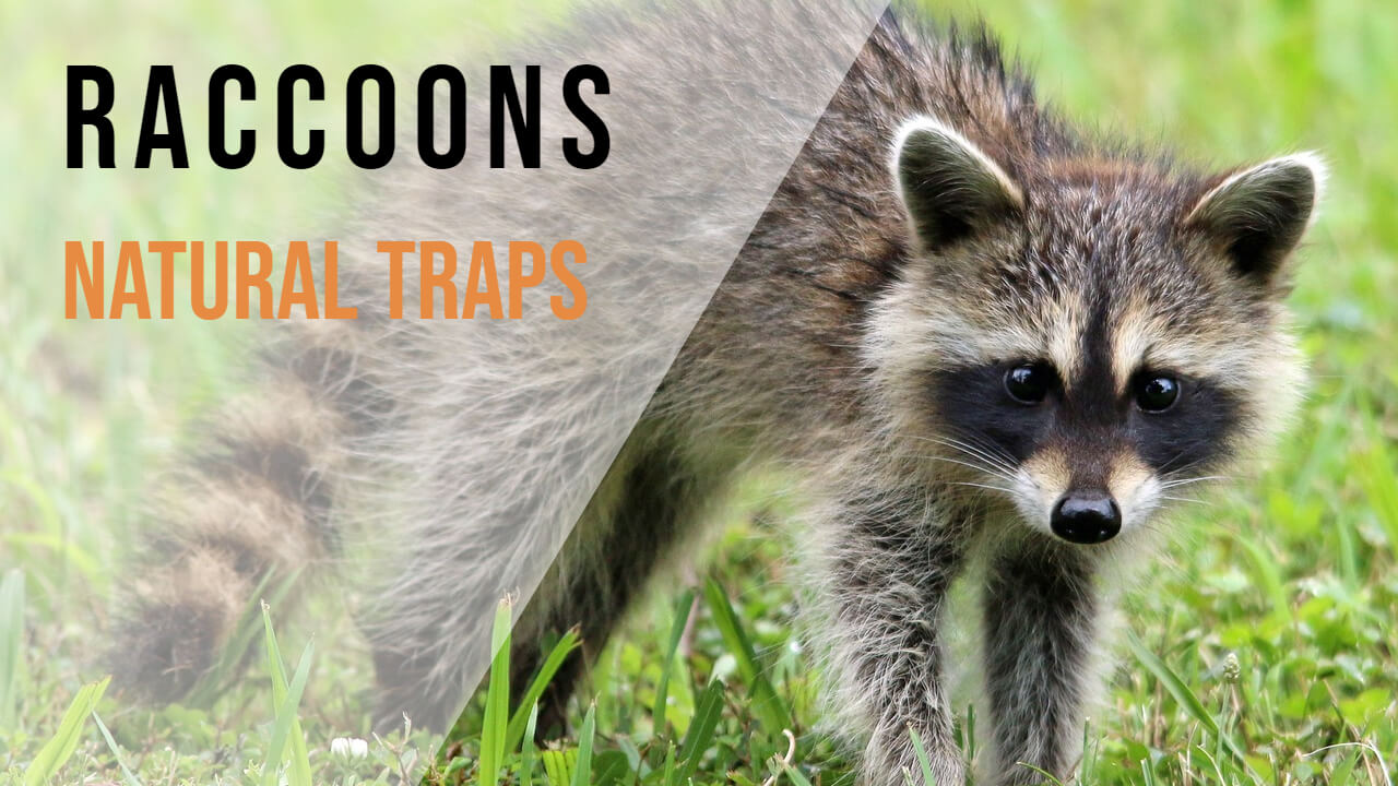How to Make a Homemade Raccoon Trap