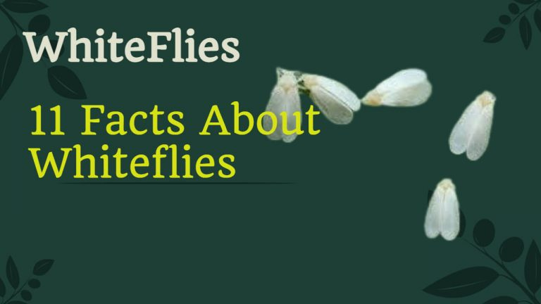 11 Facts about Whiteflies [What do they eat, where do they live, Lifecycle and More]