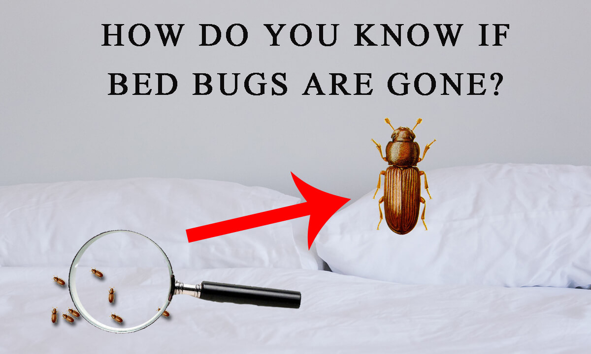how do you know if the bed bugs are gone