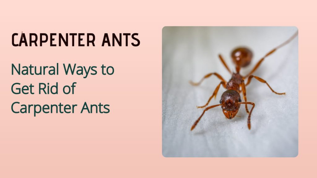 how to get rid of carpenter ants naturally