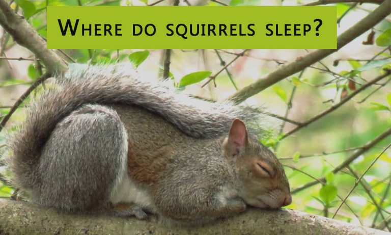 Where Do Squirrels Sleep? How Long Do Squirrels Sleep?