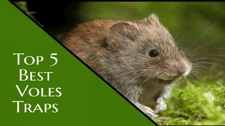 How to Get rid of Voles | 5 Best Voles Traps to Get Rid of Voles