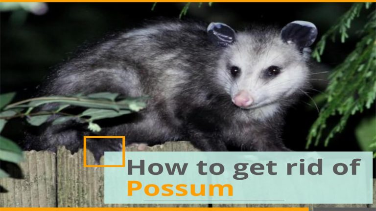 How to Get rid of Possums | Top 7 Best Possum Repellents
