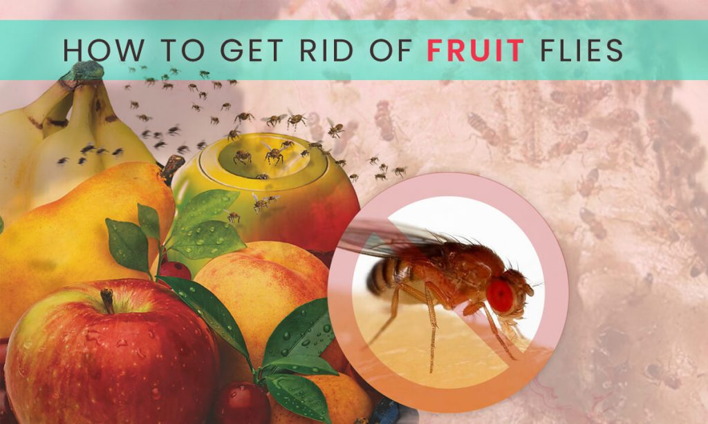 how to get rid of fruit flies - best fruit fly traps
