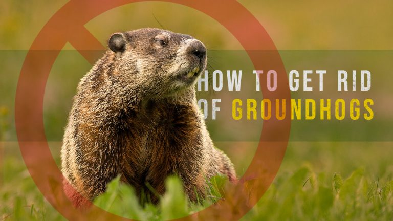 How to Get rid of Groundhogs | Top 6 Best Groundhog Repellents